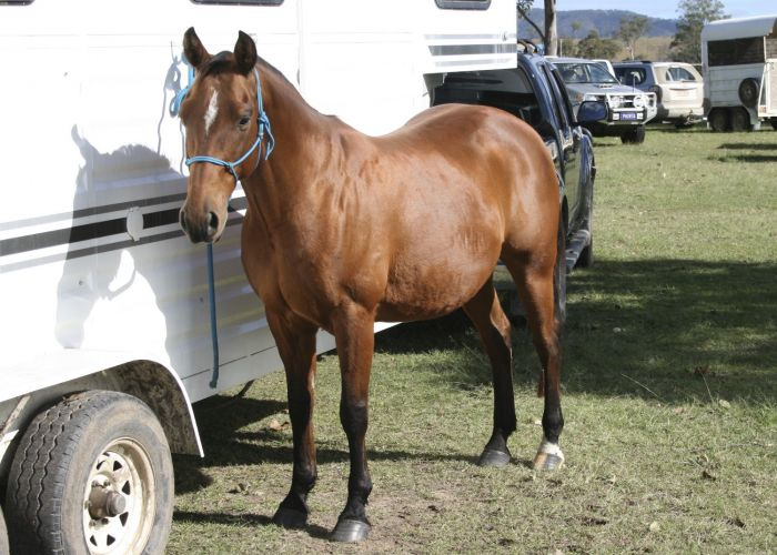 'D Bar Hells County' QH Gelding by Docs Spinifex