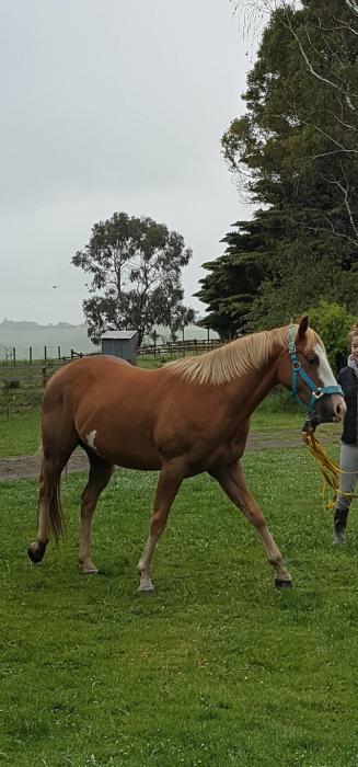 Quarterhorse x Paint Chestnut Gelding