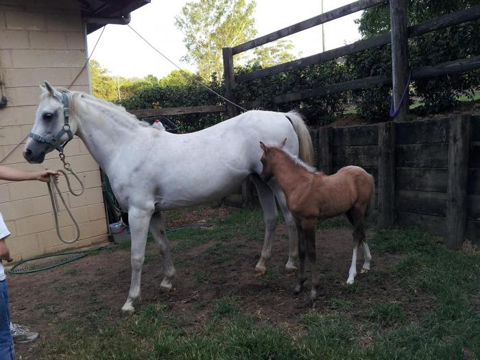 Companion Pony/Broodmare
