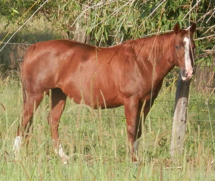 BILLS CUTTER MARE IN FOAL TO RECYCLED GENETICS