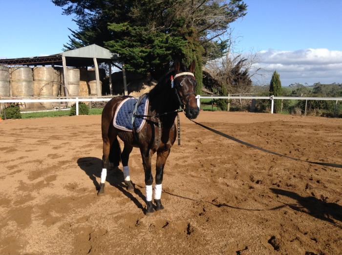 Large Pony Stallion