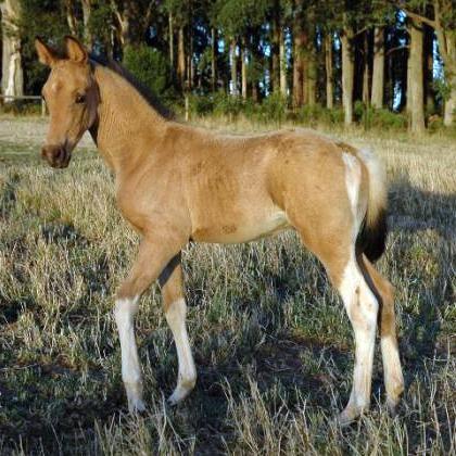 Buckskin Pinto Part Arabian Yearling colt REDUCED
