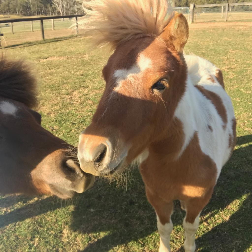 Adorable Pinto Mini mare