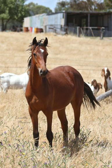 Kiabe Love Knot as a yearling. Photo credit: Lorelle Mercer