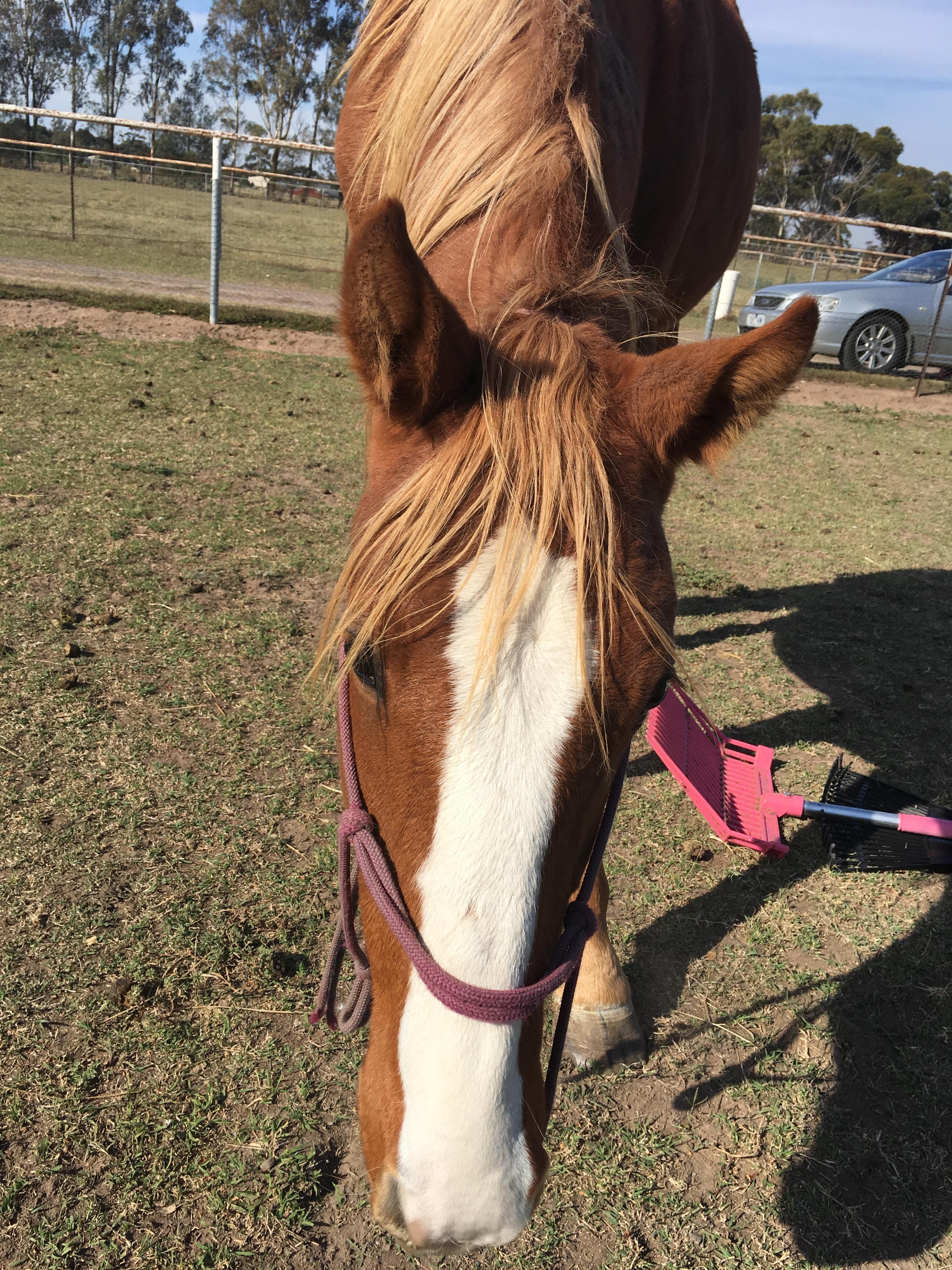 Quarter horse x Gelding