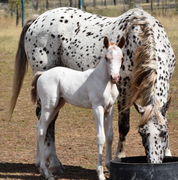 Ascot Little Colida - Foal