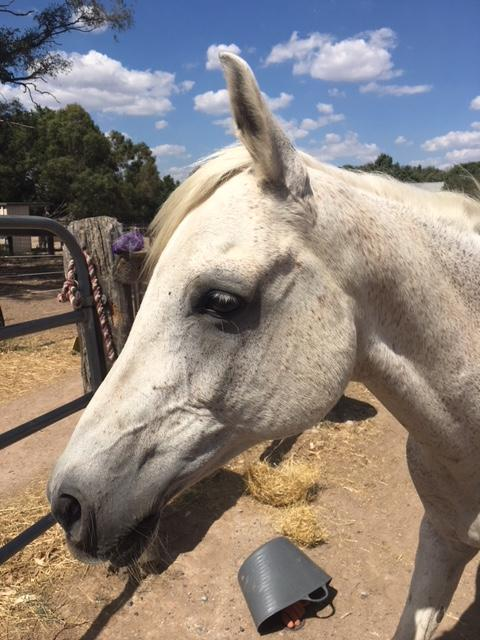 Arab - endurance horse, grey gelding