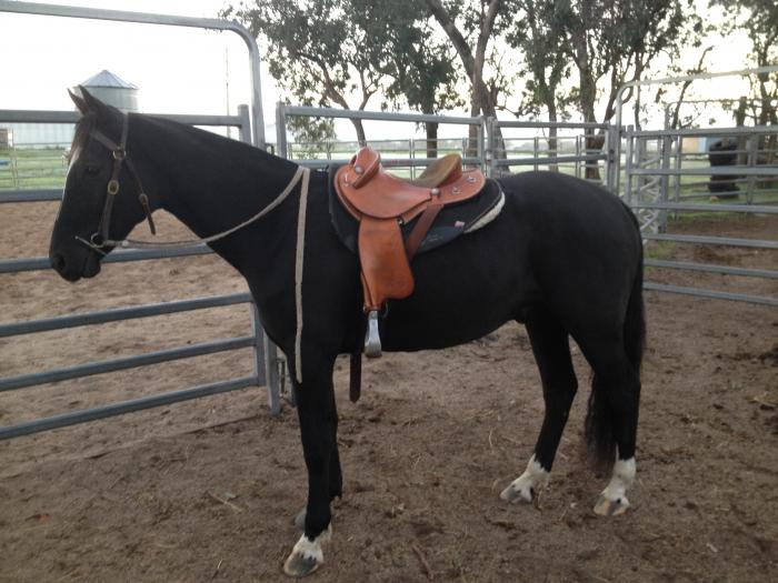 ASH Black Gelding - Bohena Willus bloodlines