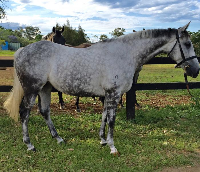 STUNNING T/B MARE BY CANNY LAD.
