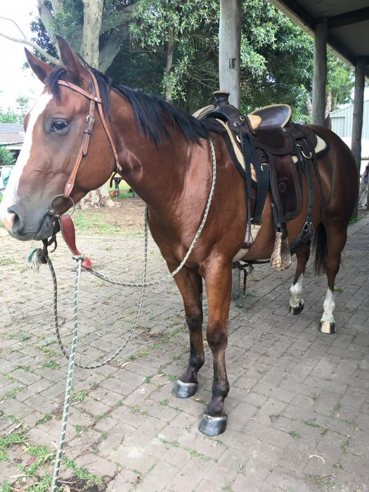 Beau - cracking QH gelding