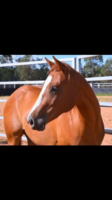 AQHA REG QUARTER HORSE FILLY