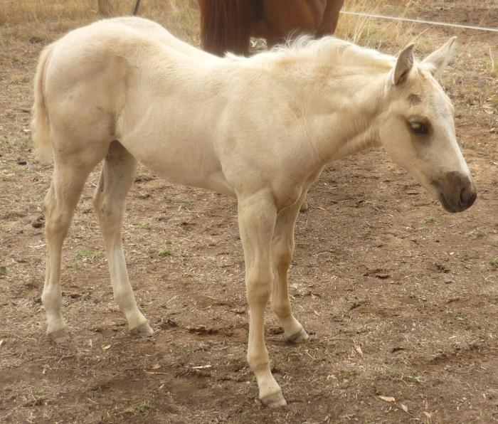 solid Paint QH palomino filly