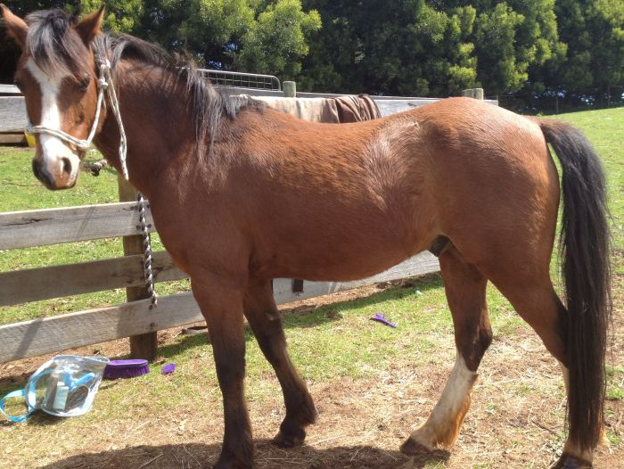 Lovely Welsh/Arab Pony