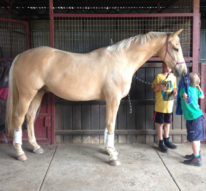 Palomino Warmblood Cross