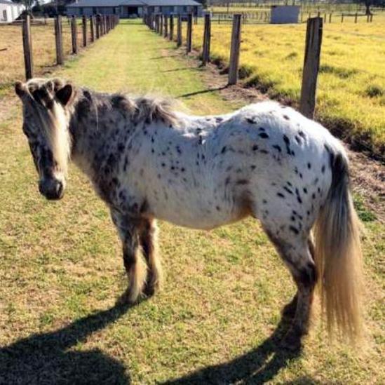 Pretty Palouse Pony