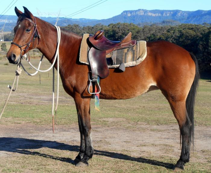 Top Quality Bay Stock Mare + VIDEO++