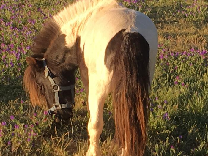 Lovely Minature Black and White Pinto Stallion