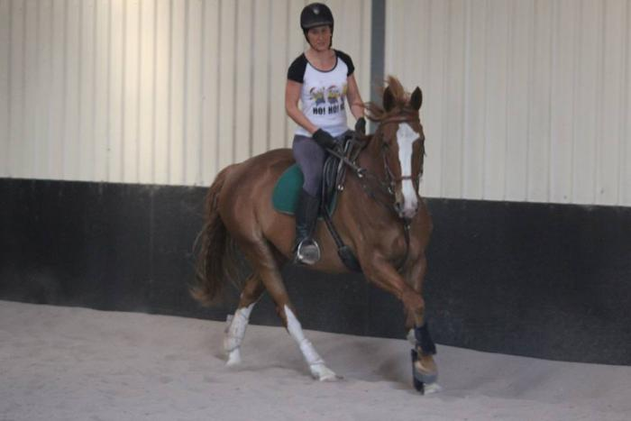 WARMBLOOD SPORTHORSE -TRAINING NOVICE