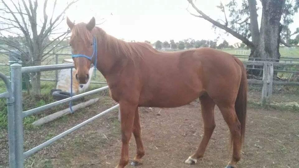 Lovely natured 10 year old gelding