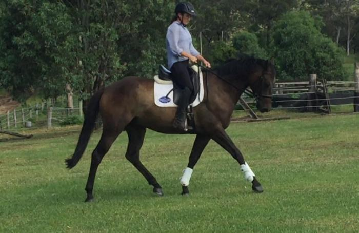 Stunning Hunter Type Stock Horse Gelding