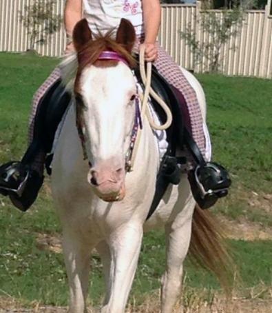 Paint Pony 12hh Rising4yrs Broken in by John Wicks