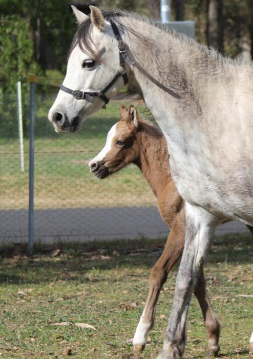 Imperial Willow Section B Broodmare