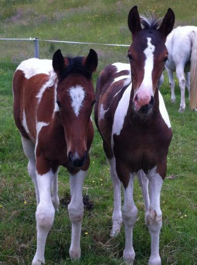 two foals by Halo