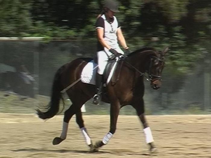 Quality ASH dressage/show mare
