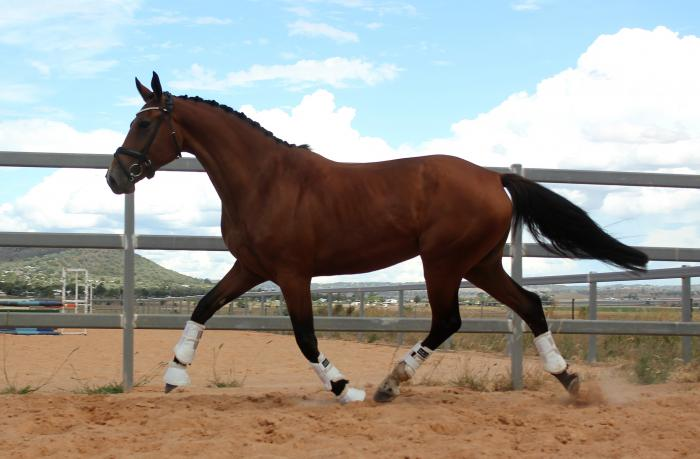 Young dressage mare infoal to Belissimo M