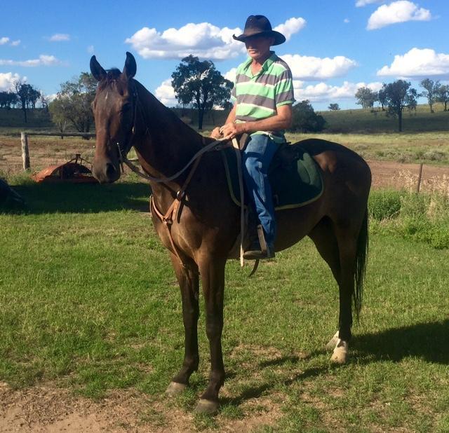 Brown Stockhorse Gelding