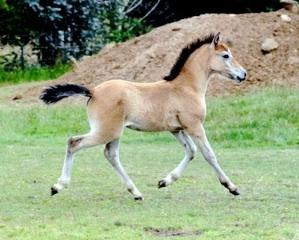 Shalimar as a foal