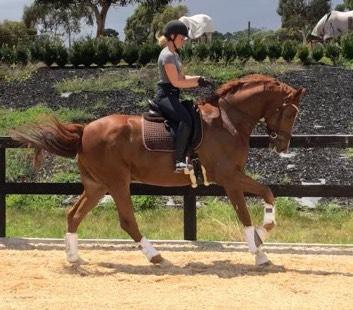 Stunning Gelding with Expressive Paces