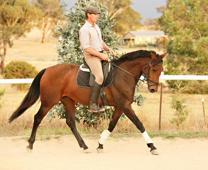 Part Bred Spanish Mare, 16.1hh, Eventing/Dressage