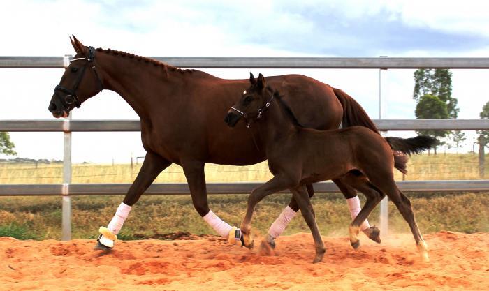 ROTSPON mare - WYNTON Foal - NEGRO pregnancy