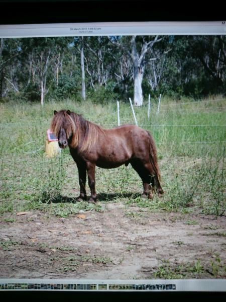 Miniature Pony Stallion Burnt Bucksin