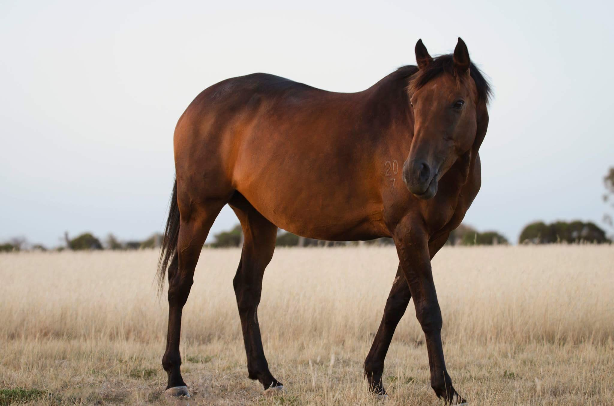 Bay TB mare