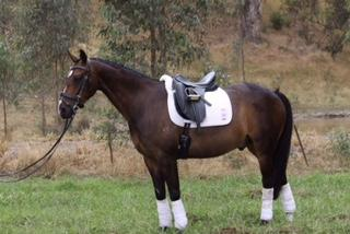 Fantatic Dressage/interschool/HRCAV/PCAV Mount