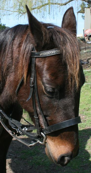 """Gena"" Fun sized 14.1hh retrained Standardbred"
