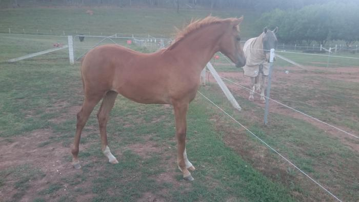 arabian warmblood yearling filly
