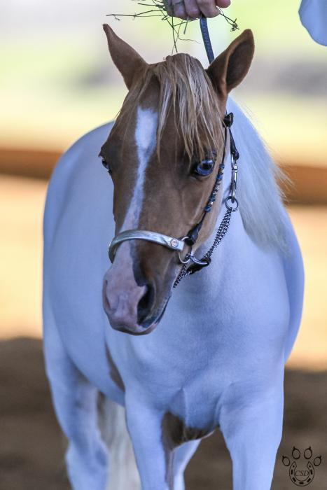 CHAMPION MINIATURE FILLY FOR SALE