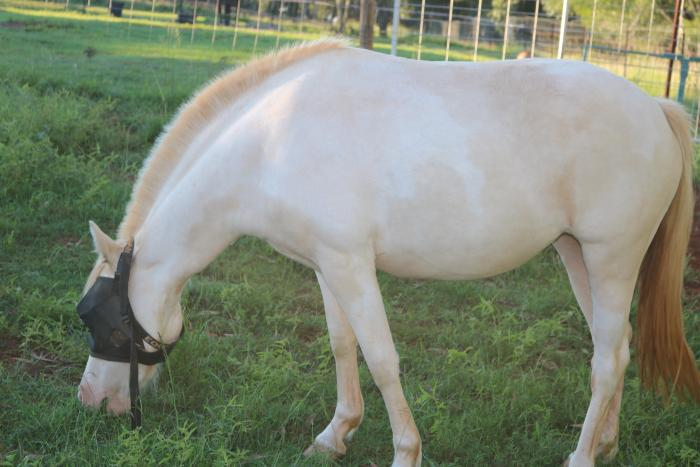 3 year old cremello pinto mare