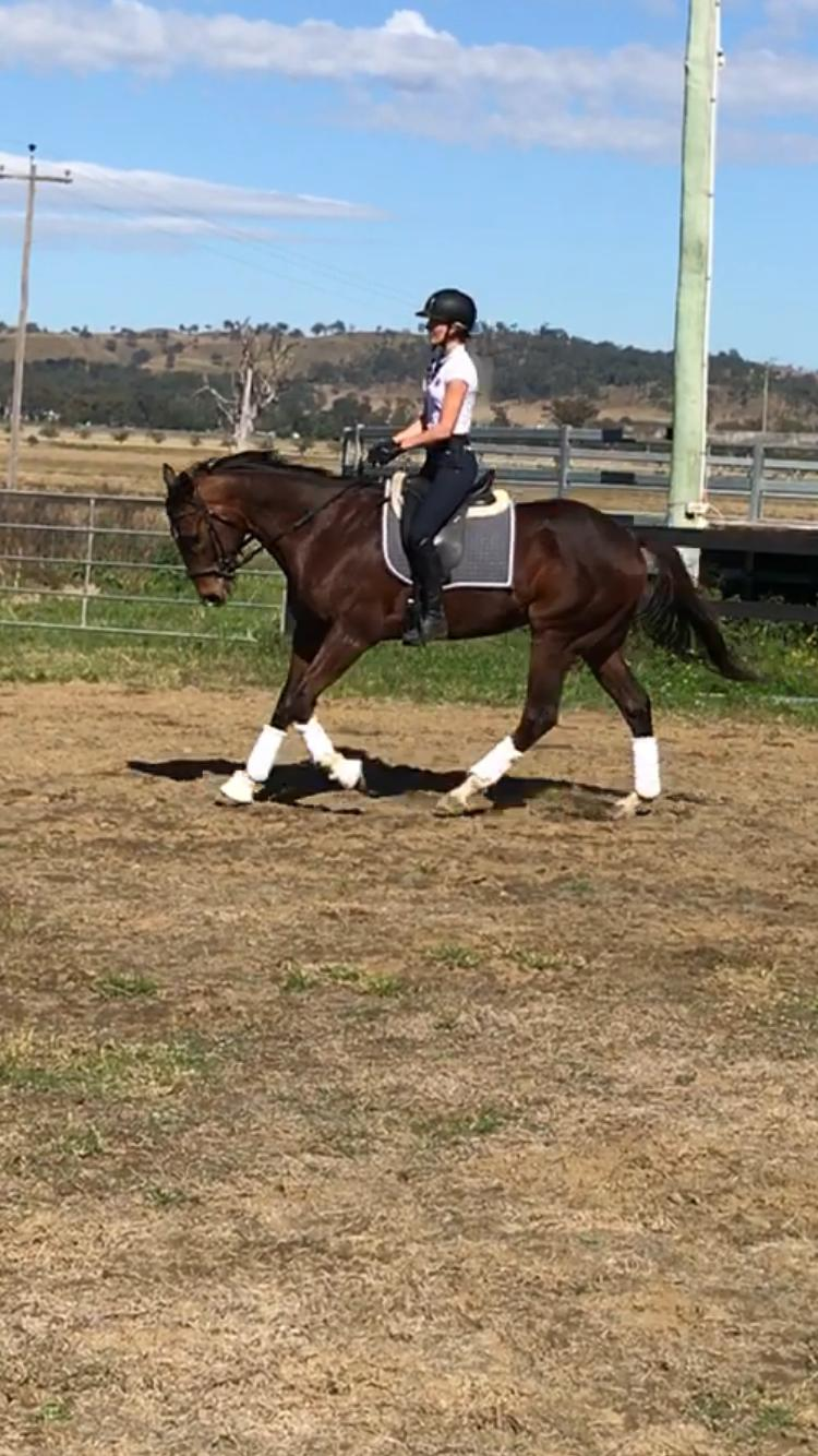 Quiet and lovely 16hh gelding
