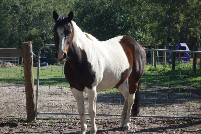 Paint Mare, 15H, 11yo, up to date vaccinations
