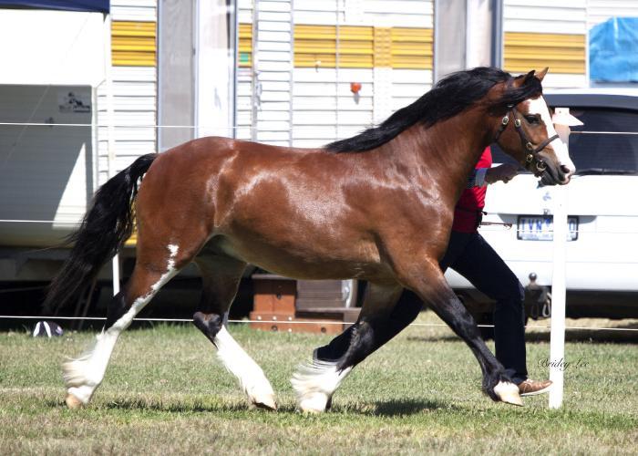 Welsh Pony of Cob type gelding.