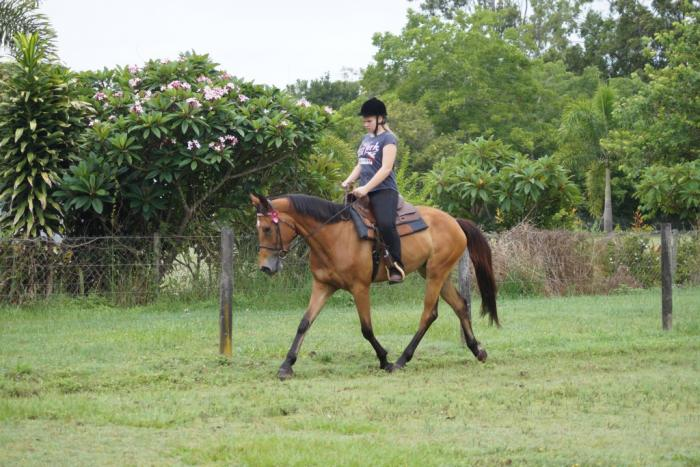 Bay Registered Irish Mare