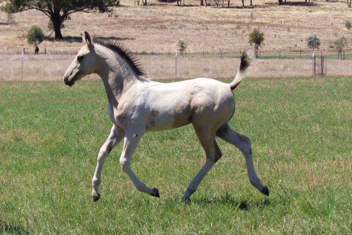 Buckskin Pinto Stock Horse Filly and Mare Package