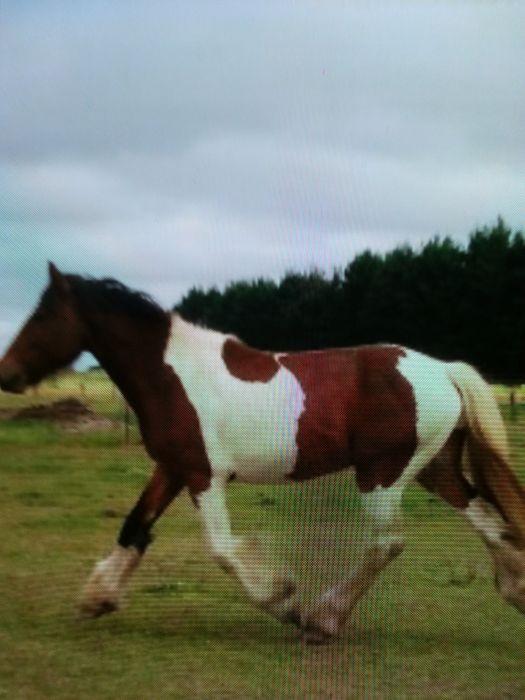 Gypsy Cob x Australian Draught colt.