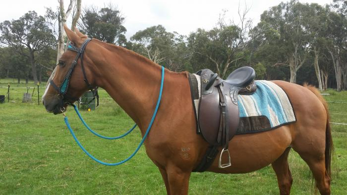 7yr old chestnut mare,solid build,15hh