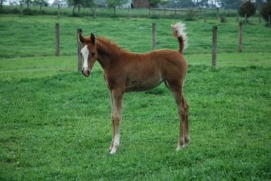 Destiny as a foal