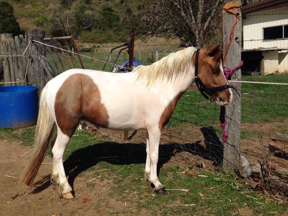 Imhr 3yr old pinto filly 9h